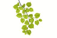 Lime tree, Tilia, leaves against white background - RUEF001644