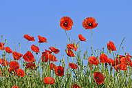 Papaver rhoeas, Common Poppy, Red Poppy, against clear blue sky - RUEF001656