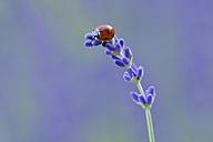 Seven spot ladybird, Coccinella septempunctata, on lavender - RUEF001659