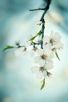 Blossoming almond tree - BSTF000102