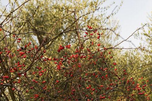 Italy, Sicily, dogrose in front of olive tree - CSTF000994