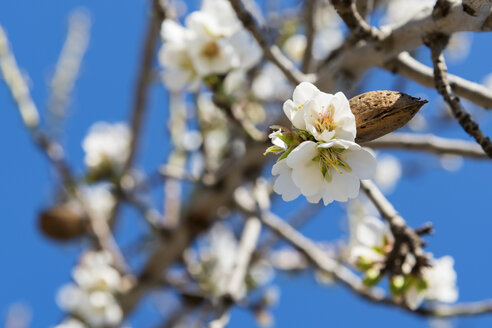 Blossoms of almond tree, close-up - CSTF001003