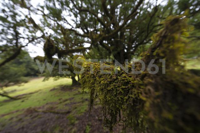 Portugal, Madeira, Fanal, laurel forest - MKFF000274