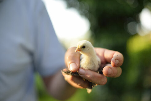 Man holding little chick outdoors - BRF001265