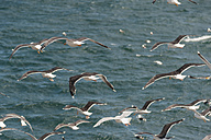 Iceland, flock of kittiwakes above the sea - PAF001677