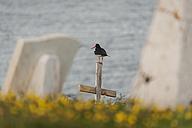 Iceland, oystercatcher - PAF001683