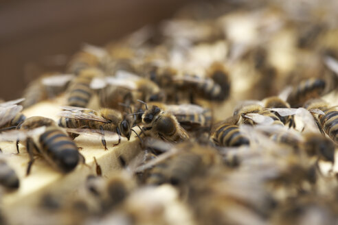 Bee colony, close-up - SABF000041