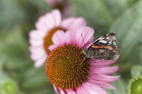 Butterfly on blossom of coneflower - SABF000050