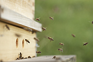 Bees approaching beehive - SABF000056