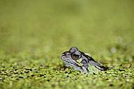 Common frog in duckweed in water - MJOF001149