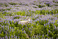 Iceland, sheep in field of lupins - PAF001711