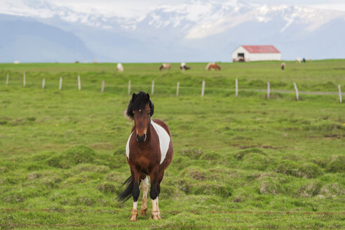 Iceland, Icelandic horse on paddock with volcano Eyjafjallajokull in background - PAF001720