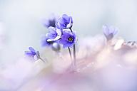 Liverworts flower, Hepatica nobilis - BSTF000103