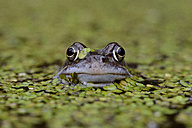 Portrait of Common frog in between duckweed in a pond - MJOF001152