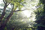 USA, Hawaii, Manoa, tropical rain forest, Honolulu Watershed Forest Reserve - BRF001286