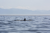 Canada, Vancouver Island, orca whale - NGF000317