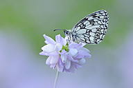 Marbled White, Melanargia galathea sitting on Crownvetch, Securigera varia - RUEF001662