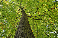 Low angle view of Copper Beech tree, Fagus sylvatica, Saxon Switzerland National Park - RUEF001695