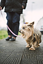 Yorkshire Terrier going walkies - RAEF000974