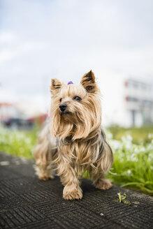 Portrait of Yorkshire Terrier - RAEF000977