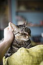 Man's hand stroking tabby cat lying on backrest of the couch - RAEF000983