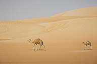 UAE, Rub' al Khali, two camels walking through the desert - MAUF000398