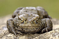 Portrait of Common toad - MJOF001158