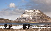 Iceland, Snaefellsnes peninsula, Grundafjoerdur, Kirkjufell, Icelandic horses - FCF000912