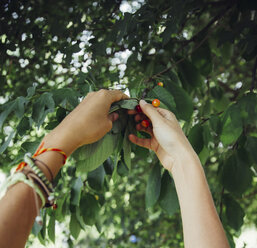 Woman harvesting cherries - AIF000323