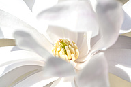 Blossom of star magnolia, close-up - SARF002687