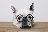Portrait of French Bulldog wearing glasses - RTBF000110