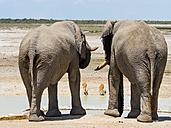Two elephants, Loxodonta africana, watching two antelopes on waterhole - AMF004840