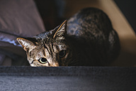 Tabby cat peeking - KIJF000317