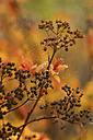 Spiraea japonica Magic Carpet, water drops, autumn, close-up - JUNF000486
