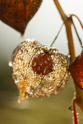 Chinese lantern in autumn, close-up - JUNF000496