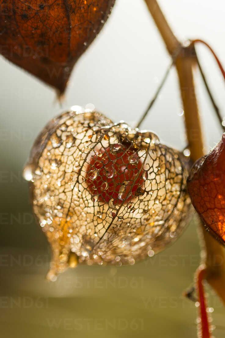 Chinese lantern in autumn, close-up - JUNF000496 - JLPfeifer/Westend61