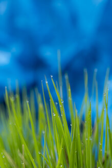 Grasses with water drops, close-up - JUNF000506