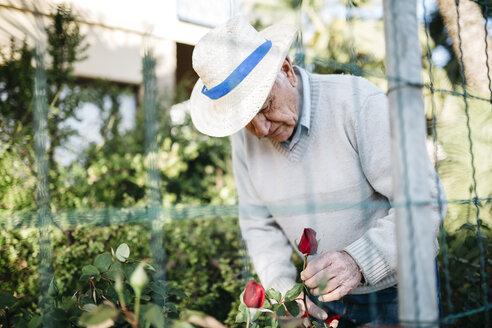 Senior man cutting rose in the garden - JRFF000571