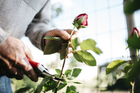 Senior man's hand cutting rose in the garden, close-up - JRFF000574
