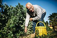 Portrait of senior man picking beans in his garden - JRFF000583
