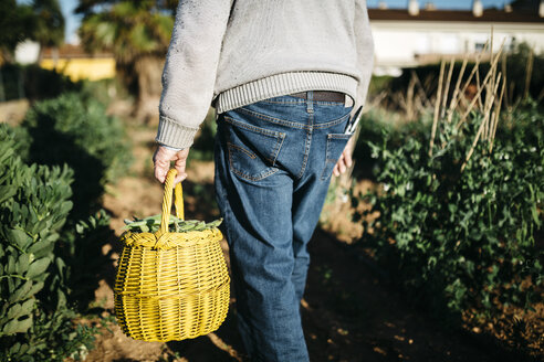 Back view of senior man carrying basket with harvested beans - JRFF000586