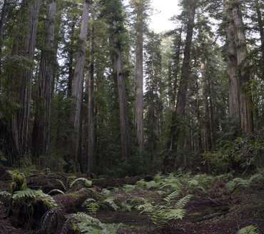 USA, California, Redwood National Park, Redwood - STCF000205