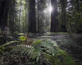 USA, California, Redwood National Park, Redwood - STCF000217
