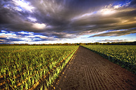 Scotland, East Lothian, field of leeks at sunset - SMAF000459