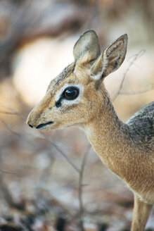 Namibia, Etosha National Park, portrait of female dik-dik - GEMF000886