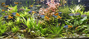 Boeseman's rainbowfishes, Melanotaenia boesemani and Congo tetras, Phenacogrammus interruptus swimming in fresh water aquarium - SIEF007012