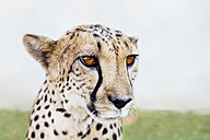 Namibia, Kamanjab, portrait of tame cheetah - GEMF000892