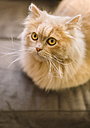 Portrait of light brown cat at home - MGOF001815