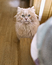 Portrait of starring cat at home - MGOF001817