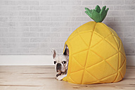 French bulldog lying in his bed shaped like pineapple - RTBF000181
